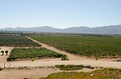 image of guadalupe  - Vineyard at Valle de Guadalupe - JPG