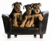 picture of couch  - airedale terrier litter sitting on a dog couch on white background - JPG
