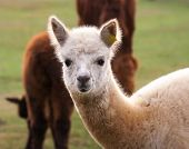 foto of alpaca  - Beautiful alpaca  - JPG
