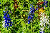 picture of bluebonnets  - A Wide Angle View of a Beautiful Field Blanketed with the Famous Texas Bluebonnet (Lupinus texensis) Wildflowers.