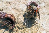 foto of hermit crab  - the big hermit crab on a stones - JPG