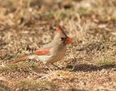 stock photo of cardinal  - Female Northern Cardinal eating seeds on the ground in winter - JPG
