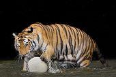 stock photo of tigers-eye  - Tiger Sumatran A tiger ready to attack Tiger Sumatran - JPG
