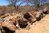 picture of petrified  - Petrified tree from Khorixas town  Namibia - JPG