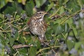 picture of brown thrush  - Redwing - Turdus iliacus In Ivy Bush with Berries - JPG