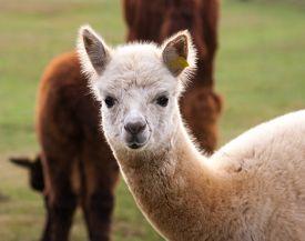pic of herbivore animal  - Beautiful alpaca  - JPG