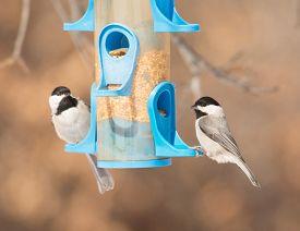 image of chickadee  - Carolina Chickadees at bird feeder in winter - JPG