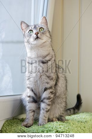 poster of Sitting cat and looking ,watching cat close up, little cat, vignette photo, domestic cat
