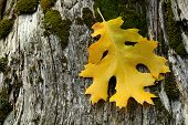 Golden Leaf Resting On Weathered Tree Stump poster