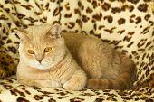 image of irish  - Irish Red cat resting on a leopard print rug - JPG