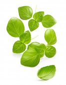 stock photo of basil leaves  - Basil leaves spice closeup isolated on white background - JPG