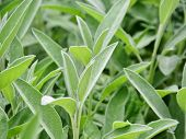 pic of salvia  - Sage plant culinary herb with grey - JPG
