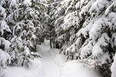 winter forest walking path used for snowshoeing near Baie Saint-Paul, Quebec, Canada
