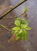 Trees: Boxelder (Ashleaf Maple) With Spring Leaves & Seeds