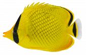 Latticed Butterfly Fish. Chaetodon Rafflesi