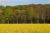 Golden Coleseed Field