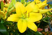 Beautiful Lilly Fowers