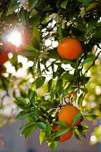 Ripe Oranges On A Tree Close-Up. Shallow DOF