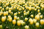 Many Yellow Tulips