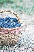 Dark Grapes In A Basket. Grape Harvesting.  Red Wine Grapes. Dark Blue Grapes, Wine Grapes In A Bask poster
