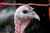 Close-Up Of Pink Head Of A Turkey