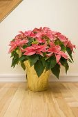 Potted Indoor Poinsettia
