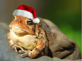 Serious Looking Frog Wearing Santa Hat