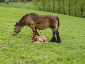 Ardennes Foal Reposing Next To Its Grazing Mother In A Belgian May Meadow poster