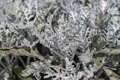 Artemisia Absinthium, Absinthe Leaves In The Garden poster