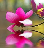 stock photo of japanese magnolia  - Blossom Over Pond - JPG