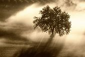 Single Olive Tree In The Beautiful Sunny Fog At Sunrise, Natural Background With Sun Rays Through Th poster