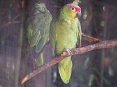 Red-crowned Amazon (scientific Name: Amazona Viridigenalis) Also Known As Red-crowned Parrot, Green- poster