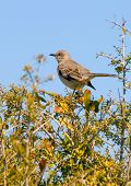 Mockingbird perched in tangle brush