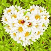 Coração de camomila, joaninhas e plano de fundo transparente