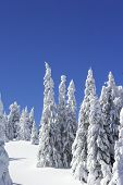 Snow Covered Pine Trees And Blue Sky