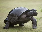 Shy big turtle covering its snout with paw