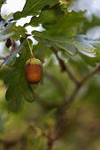Acorn Oak Autumn Tree, Oak Green Leaves. poster