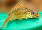The Eurasian Ruffe (Gymnocephalus cernuus) is a freshwater predatory fish found in temperate regions