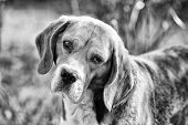 Dog With Long Ears On Summer Outdoor. Hunting And Detection Dog. Beagle Walk On Fresh Air. Cute Pet  poster