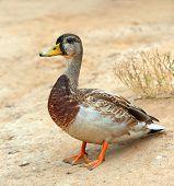 Mallard Duck, Wild Duck Shooting Outdoors. Closeup Of Drake poster