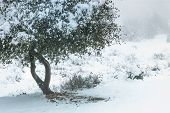 Live Coast Oak Tree, Healthy Coastal Evergreen Oak Covered In Snow On A Cold Frost Day poster