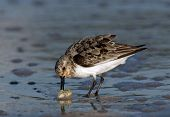 Semipalmated Sandpiper With Sand Crab