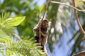 Marmoset (Callithrix Jacchus) South American Monkey