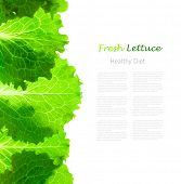 Fresh Lettuce Border /  leaves isolated on white background / close-up