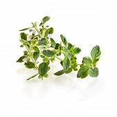 Savory fresh herb isolated on white background