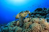 Hawksbill Sea Turtle (Eretmochelys imbricata) on underwater coral reef in ocean