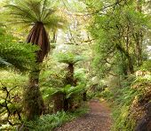 Te Urewera Treks.   Temperate rain forest with  Fern trees, Te Urewera National Park, North Island,