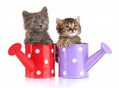 Small kittens sitting in watering can isolated on white