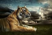 picture of tigers  - Tiger looking and sitting under dramatic sky with clouds - JPG