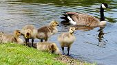 stock photo of mother goose  - a mother goose with her babies along the shore line of local lake - JPG
